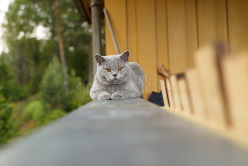 Gato de Gray British que encontra-se fora foto de stock royalty free