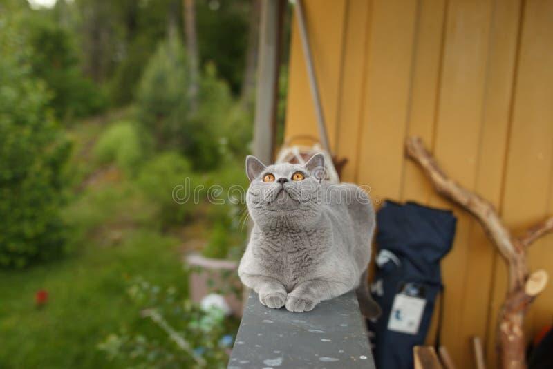 Gato de Gray British que encontra-se fora imagens de stock