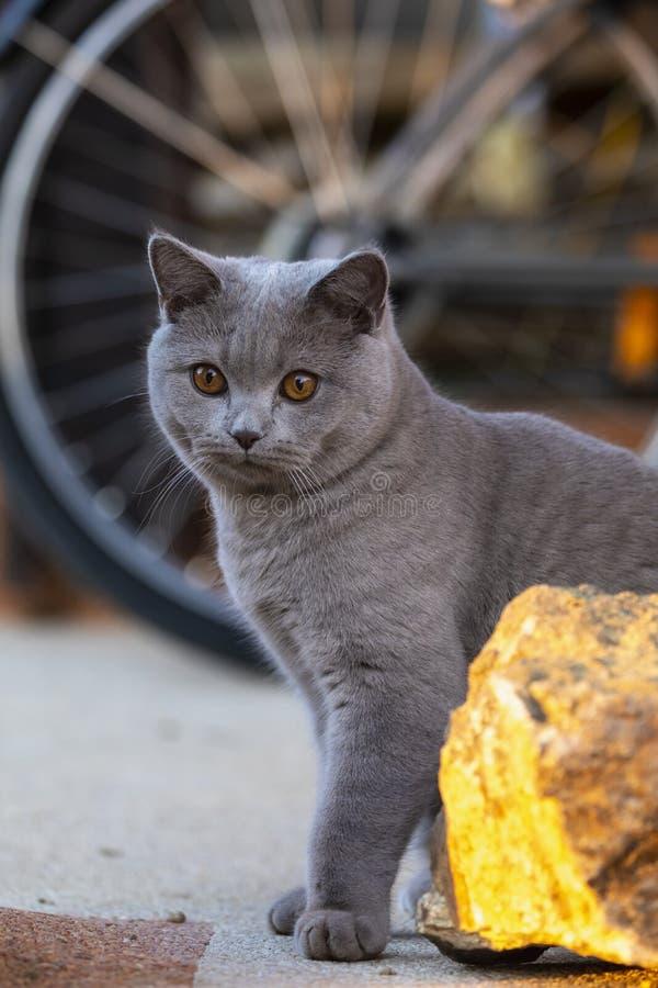 Gato de Gray British que encontra-se fora fotografia de stock royalty free