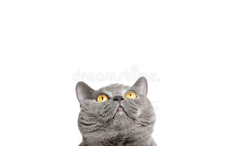 Gato de Gray British que olha acima em um fundo branco Panorama fotografia de stock royalty free