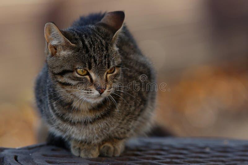 Gato de Gray Siberian al aire libre imagenes de archivo