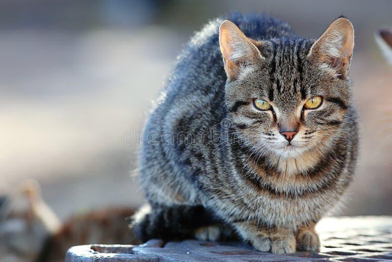 Gato de Gray Siberian al aire libre imágenes de archivo libres de regalías