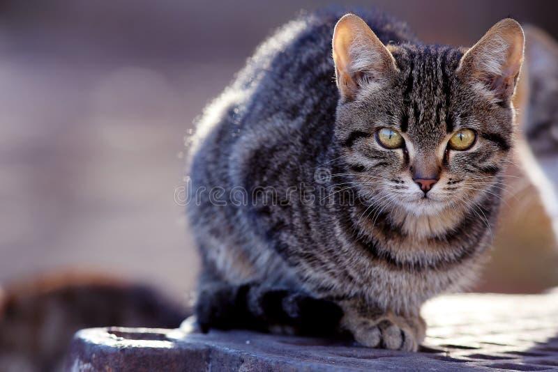 Gato de Gray Siberian al aire libre imagen de archivo