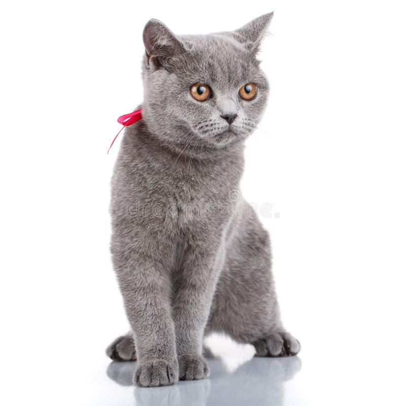 Gato de Grey Scottish Fold con la cinta rosada que se sienta en blanco imagenes de archivo