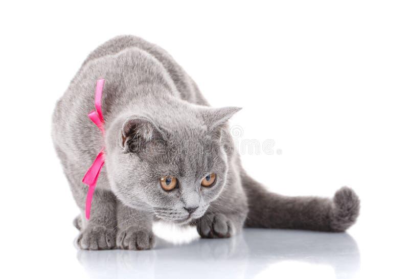 Gato de Grey Scottish Fold con la cinta rosada que se sienta en blanco imágenes de archivo libres de regalías