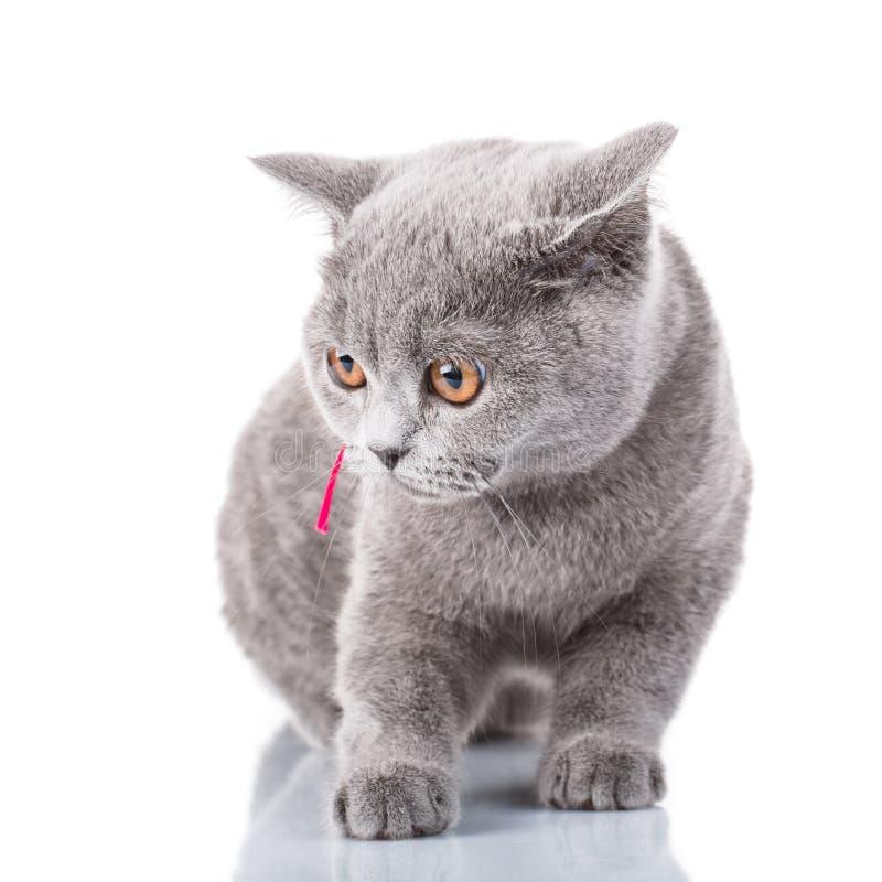 Gato de Grey Scottish Fold con la cinta rosada que se sienta en blanco fotografía de archivo libre de regalías