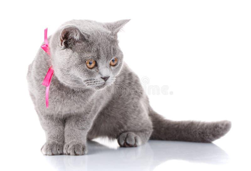 Gato de Grey Scottish Fold con la cinta rosada que se sienta en blanco fotos de archivo