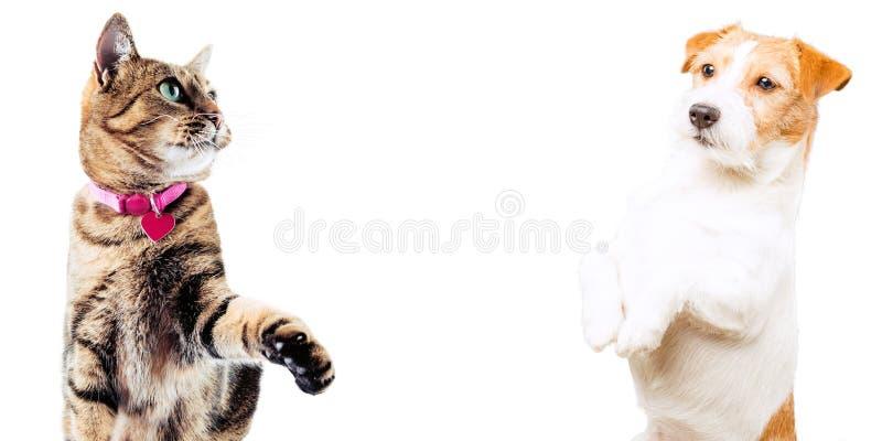 Gato de Jack Russell e de Bengal que levanta no estúdio e no olhar na câmera fotografia de stock