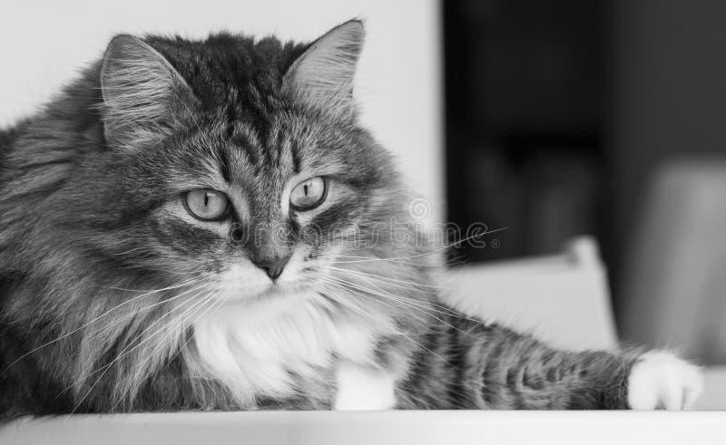 Gato de la belleza en la casa que mira hacia fuera, gato de gato atigrado marrón fotografía de archivo libre de regalías