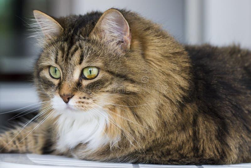 Gato de la belleza en la casa que mira hacia fuera, cara marrón del gato de gato atigrado fotos de archivo