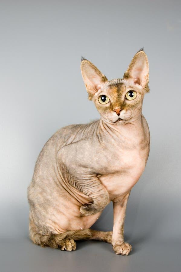Gato de la casta el sphynx canadiense imagenes de archivo