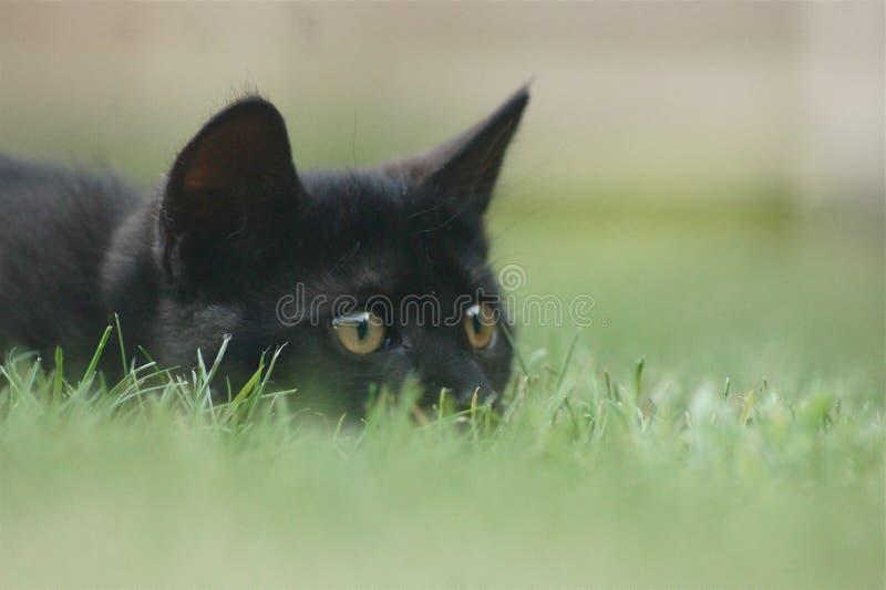 Gato de la caza en hierba foto de archivo libre de regalías