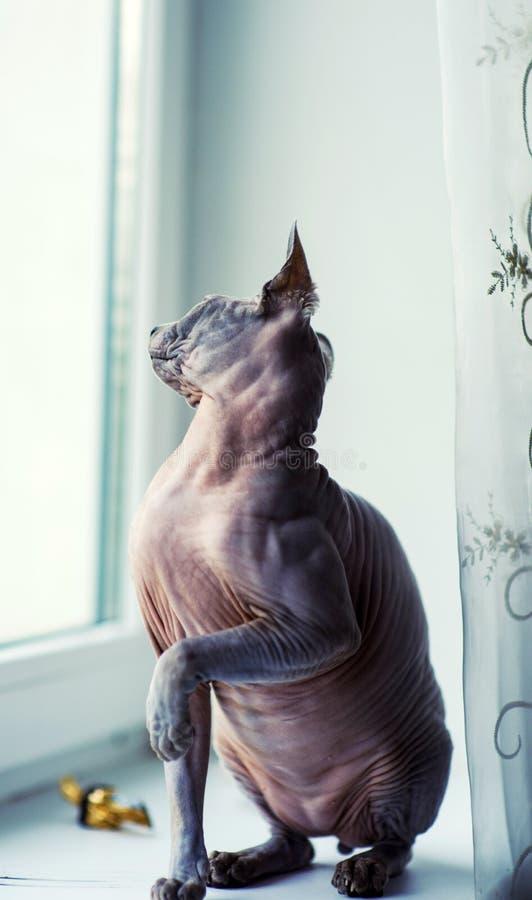 gato de la esfinge en casa fotografía de archivo libre de regalías