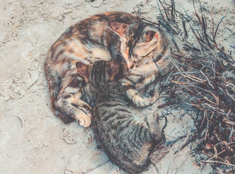Gato de la madre que amamanta poco gatito en la playa imagenes de archivo