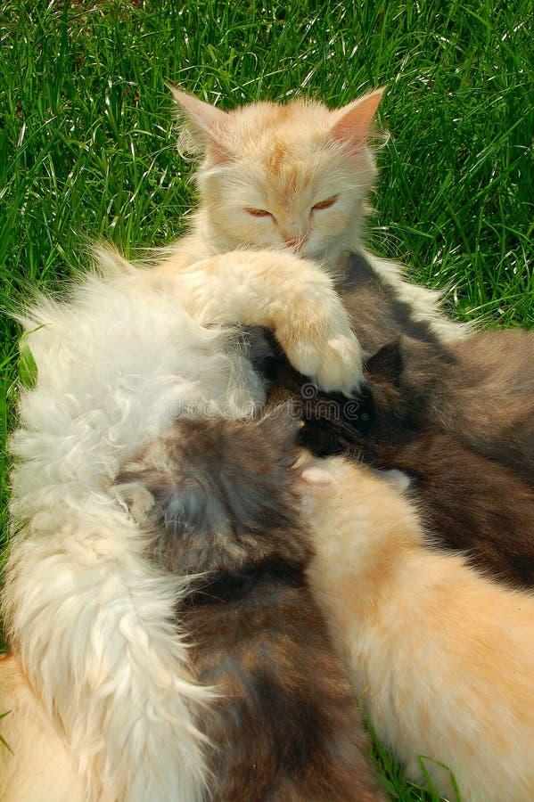 Gato de la madre que introduce sus gatitos foto de archivo libre de regalías