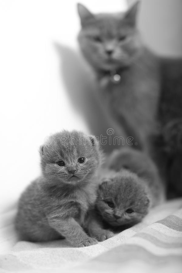 Gato de la madre que toma el cuidado de sus bebés imagen de archivo libre de regalías