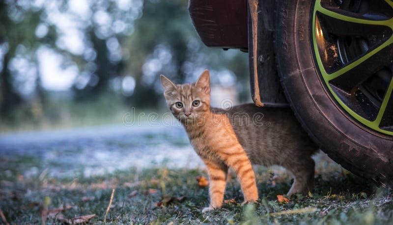 Gato de la mermelada que empuja hacia fuera de debajo el coche fotos de archivo