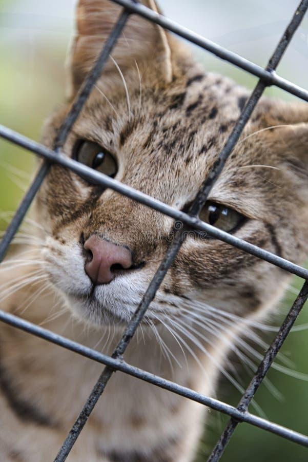 Gato de la sabana enjaulado fotos de archivo libres de regalías