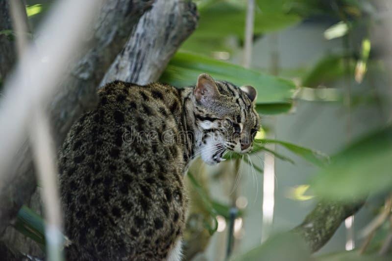 Gato de leopardo en cautiverio foto de archivo libre de regalías