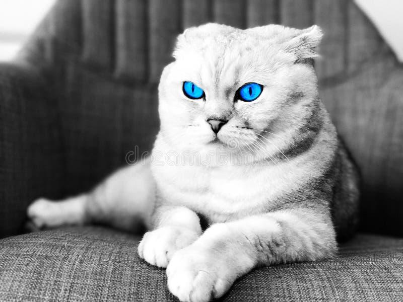 Gato de los ojos azules foto de archivo libre de regalías