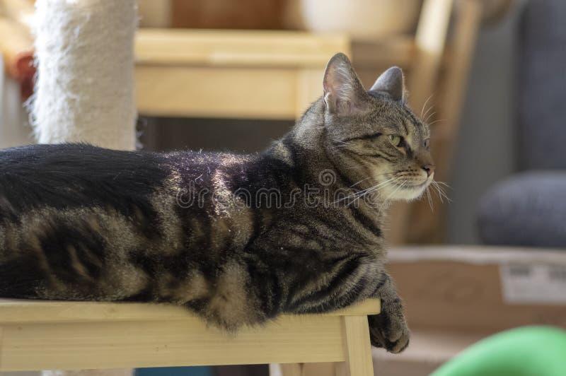 Gato de mármol nacional que se sienta en el taburete de madera, cara linda del gatito, ojos de la cal que sorprenden imagen de archivo