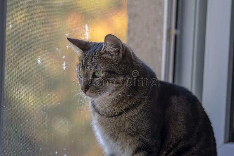 Gato de mármore bonito em apreciar a opinião do outono da janela dentro e na tentativa ser menino bonito e bom fotos de stock royalty free