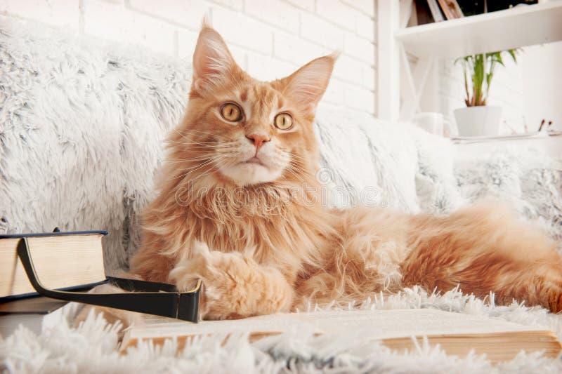 Gato de Maine Coon com os livros que encontram-se no sofá imagens de stock royalty free