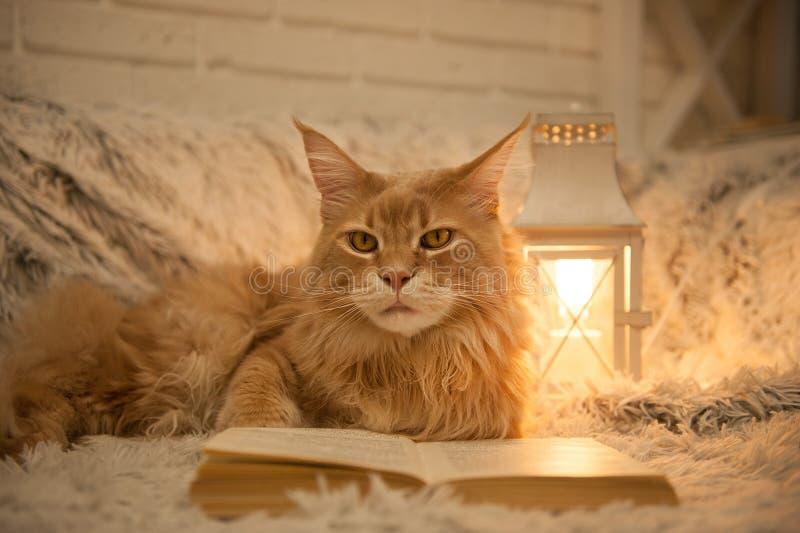 Gato de Maine Coon com os livros que encontram-se no sofá imagem de stock royalty free