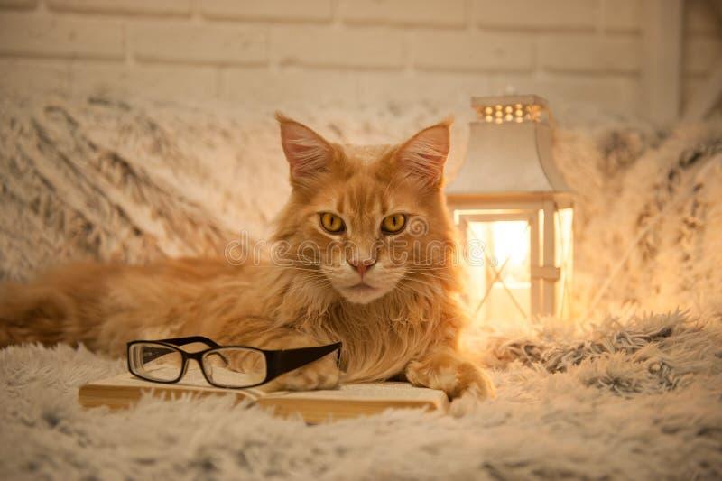 Gato de Maine Coon com os livros que encontram-se no sofá foto de stock