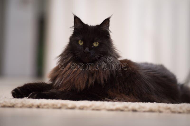 Gato de Maine Coon que encontra-se no assoalho imagens de stock
