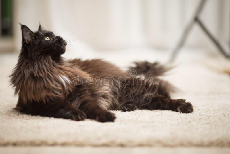 Gato de Maine Coon que encontra-se no assoalho fotos de stock royalty free