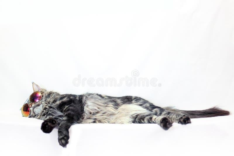 Gato de Maine Coon que encontra-se nos óculos de sol perto acima no fundo branco foto de stock