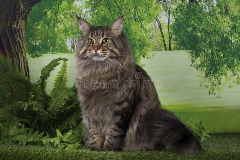 Gato de Maine Coon que senta-se sob uma árvore em um dia de verão fino imagens de stock royalty free