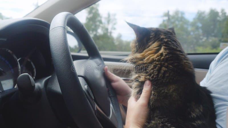 Gato de Maine Coon que viaja con un anfitrión en coche imagenes de archivo