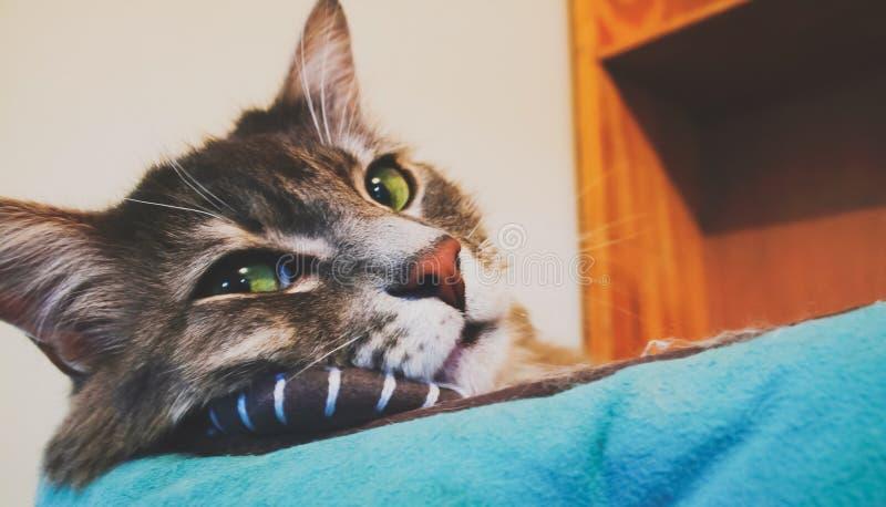 Gato de Mainecoon imagens de stock