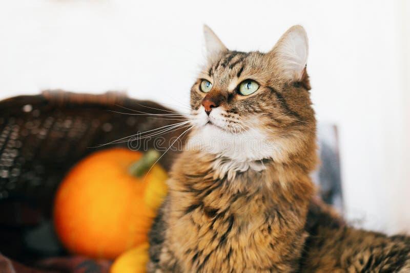 Gato de gato malhado adorável que senta-se na abóbora e no abobrinha no wicke acolhedor imagens de stock