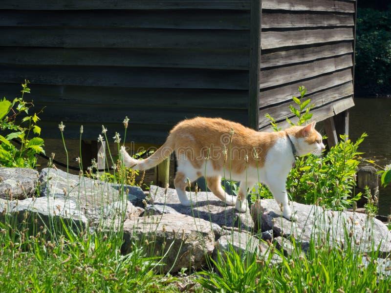 Gato de gato malhado alaranjado e branco que aprecia o dia ensolarado fotos de stock royalty free