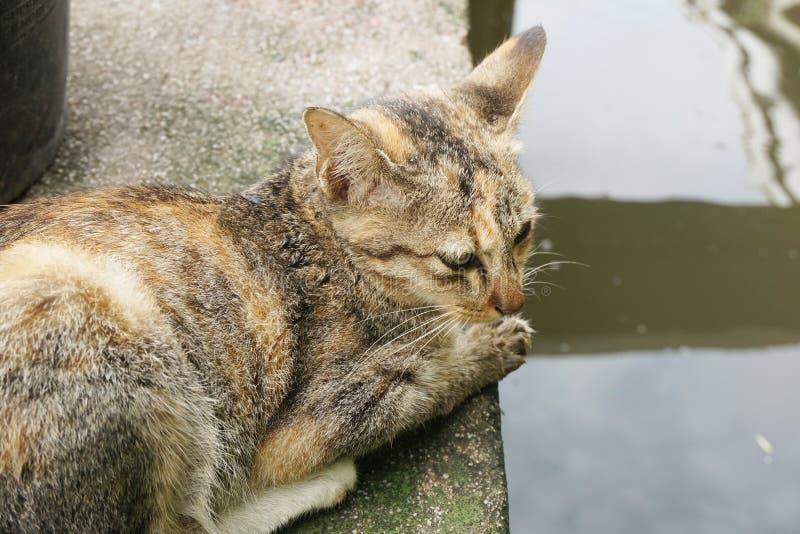 Gato de gato malhado bonito no país Tailândia imagens de stock