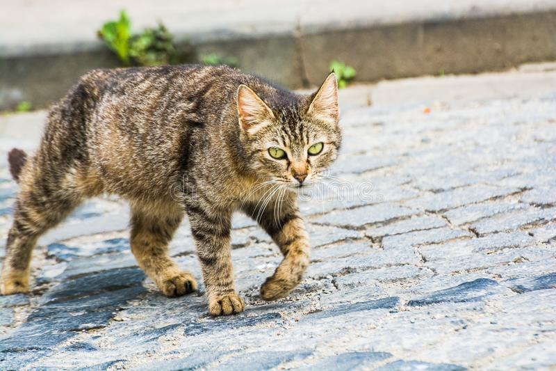 Gato de gato malhado disperso de passeio em Turquia, Giresun fotografia de stock royalty free
