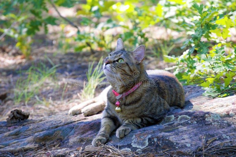 Gato de gato malhado fêmea que coloca fora na natureza foto de stock