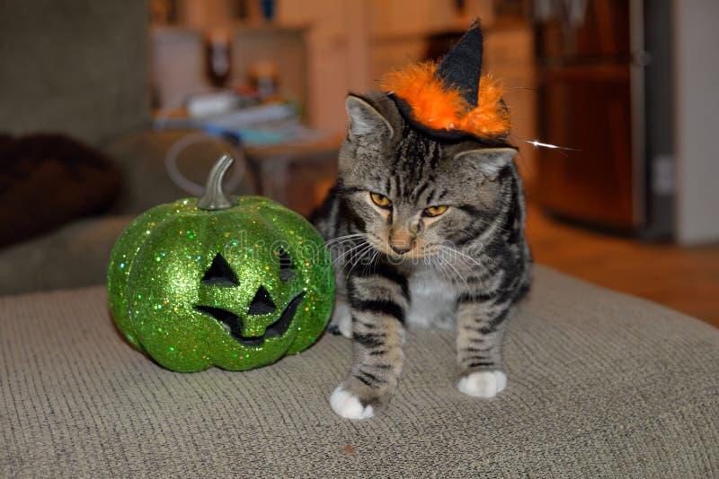 Gato de gato malhado listrado que veste o chapéu preto e alaranjado das bruxas com sua abóbora verde favorita fotografia de stock royalty free