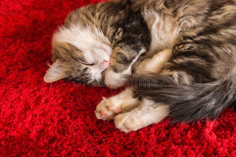Gato de gato malhado longo do cabelo que dorme no tapete vermelho com espaço da cópia fotografia de stock royalty free