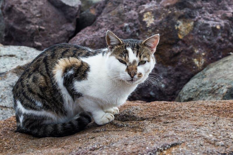 Gato de gato malhado na rocha fotografia de stock