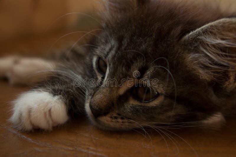 Gato de gato malhado pequeno com olhos sonhadores foto de stock
