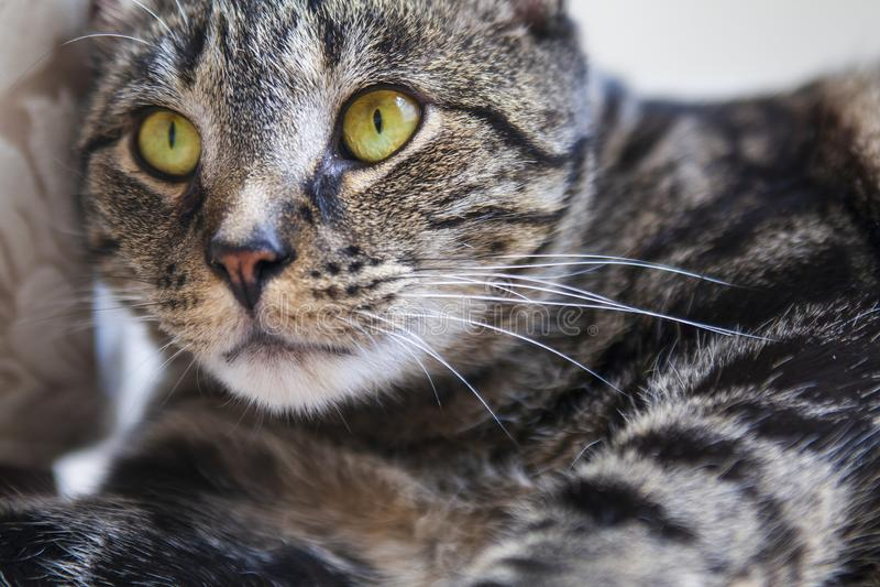 Gato de gato malhado que olha intensamente na distância próxima com os olhos amarelos vibrantes imagem de stock