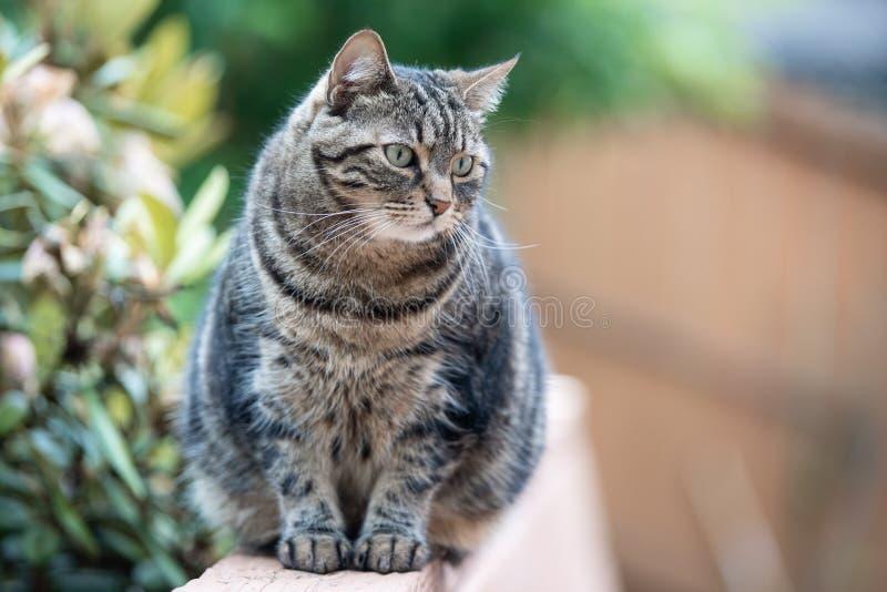 Gato de gato malhado que senta-se no banco fotos de stock