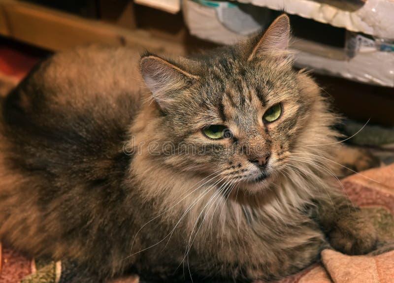 Gato de gato malhado Siberian do marrom do puro-sangue imagens de stock
