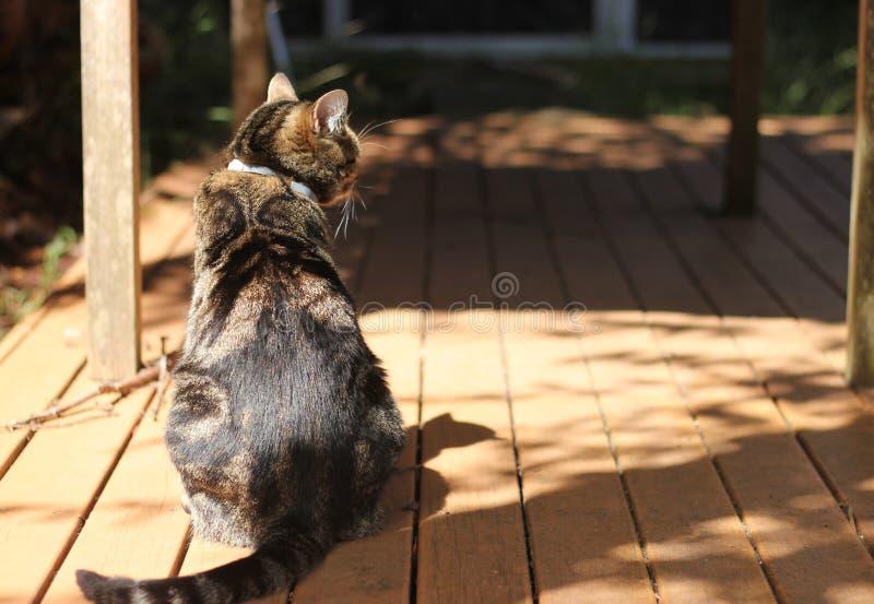 Gato de gato malhado de volta à câmera fotografia de stock