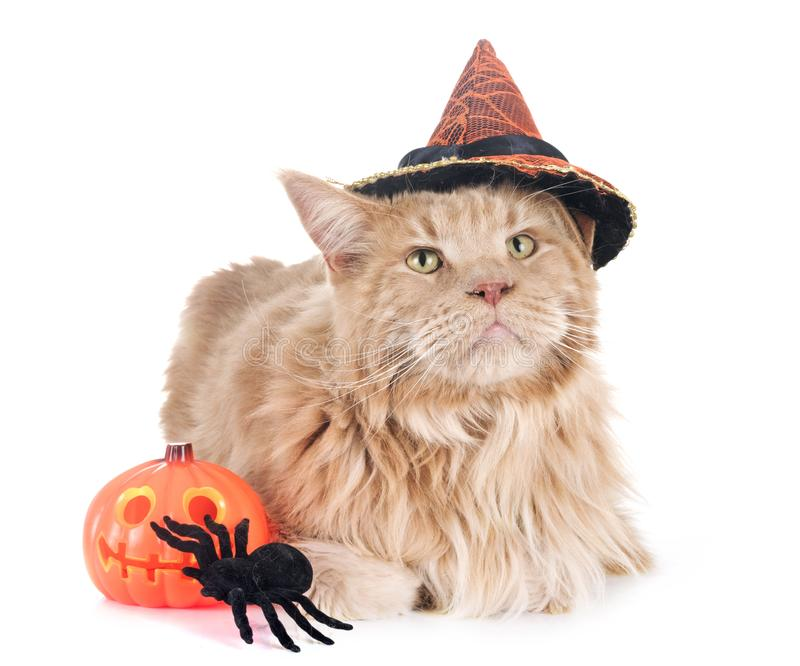 Gato de mapache de Maine y Halloween imagen de archivo