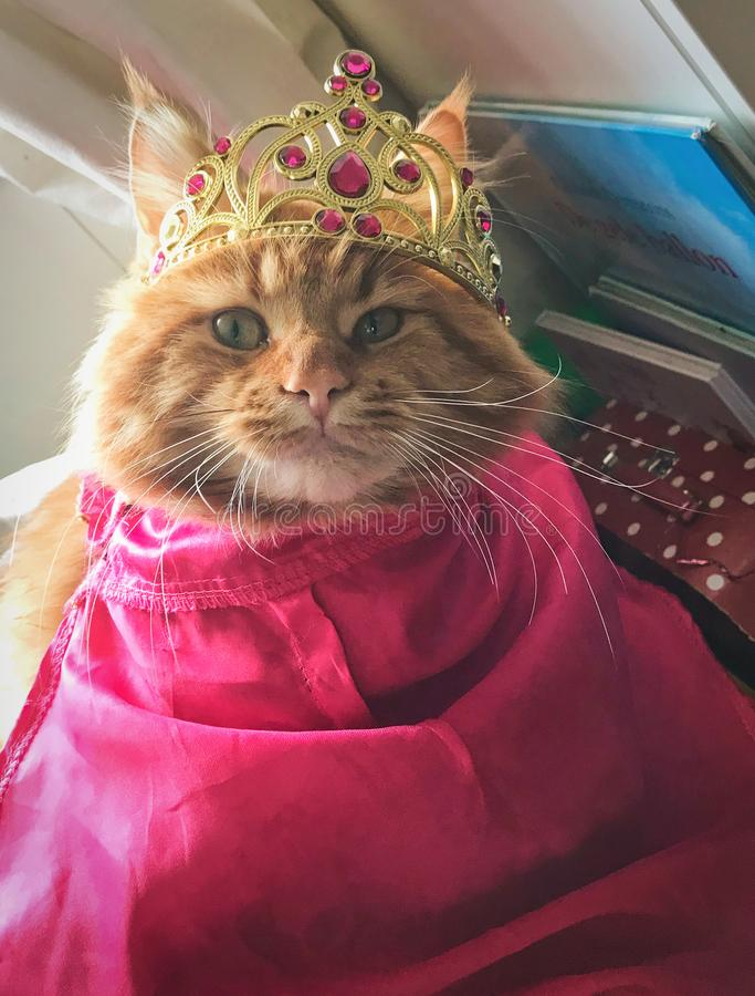 Gato de mapache rojo de Maine vestido encima como de princesa Ana de congelado con la corona y el cabo fotografía de archivo